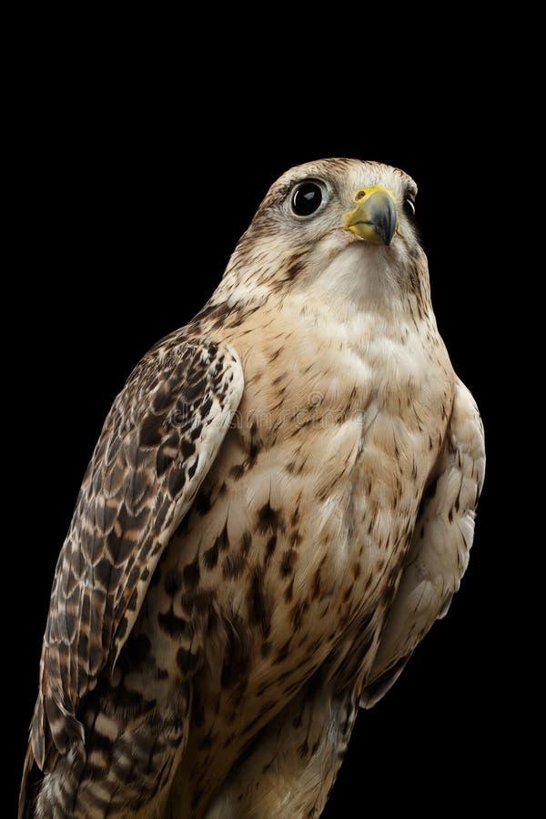 Nahaufnahme-Würgfalke, Falco-cherrug, lokalisiert auf schwarzem Hintergrund stockfoto