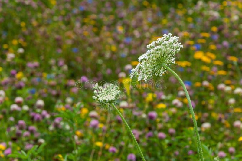 Nahaufnahme Weiß blühenden wilde Karotte oder Daucus carota und des Blauen lizenzfreie stockbilder