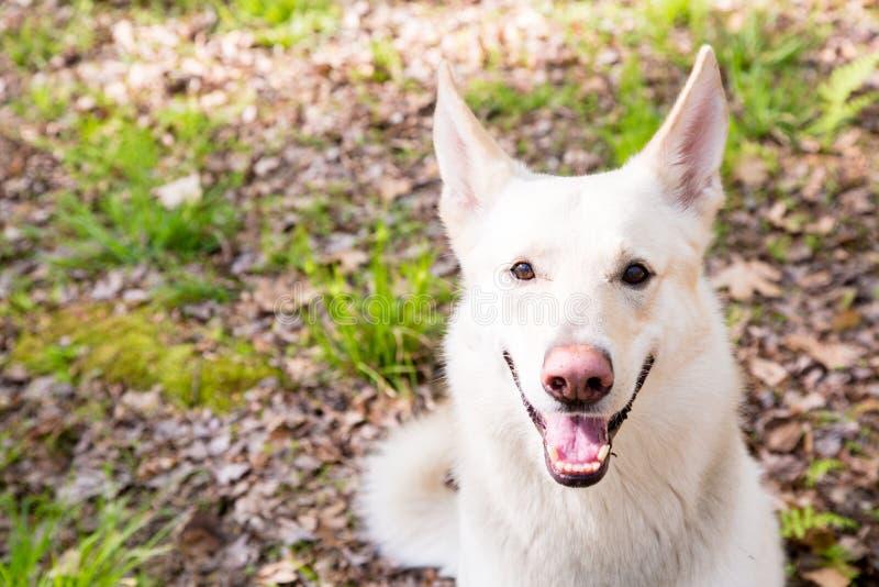 Nahaufnahme-weißer Schäfer Dog im Holz lizenzfreies stockfoto
