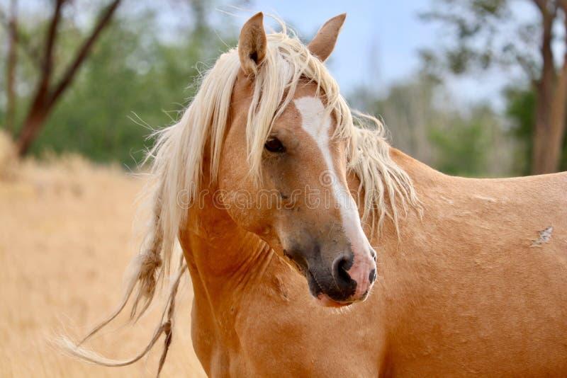 Nahaufnahme wilder des Palomino-Hengst-amerikanische Mustangs wildes Pferde stockfotos