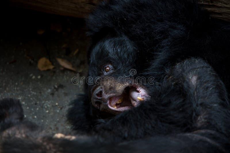 Nahaufnahme zum Gesicht eines schwarzen Bären Erwachsener Formosas, der sich auf dem Wald hinlegt lizenzfreies stockfoto