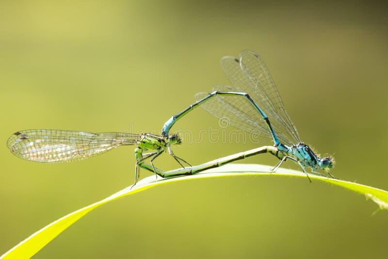 Nahaufnahme zwei allgemeinen bluetail Ischnura-elegans Damselflies mati lizenzfreie stockfotos