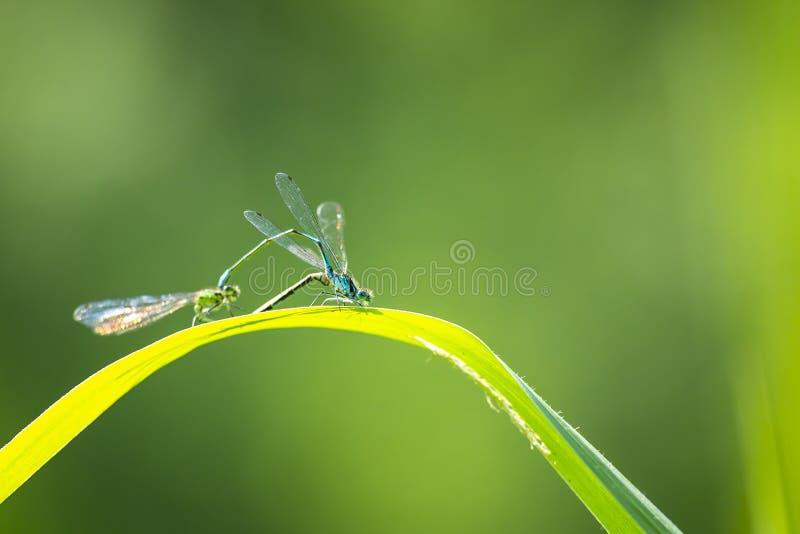 Nahaufnahme zwei allgemeinen bluetail Ischnura-elegans Damselflies mati lizenzfreie stockbilder