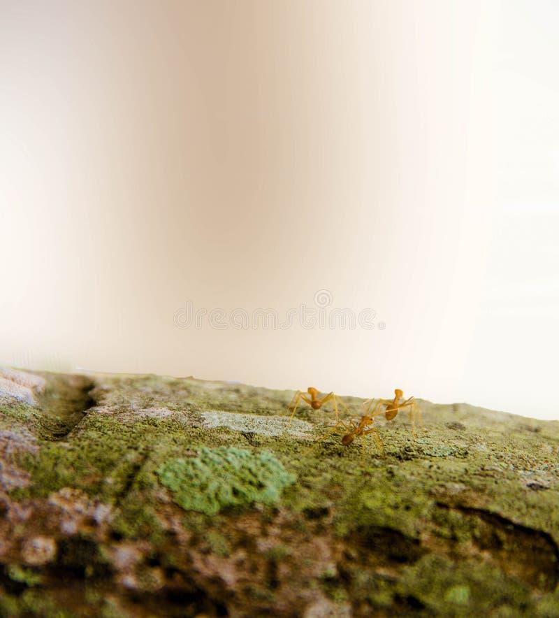 Nahaufnahmeameisenweg auf dem Baum lizenzfreie stockfotos