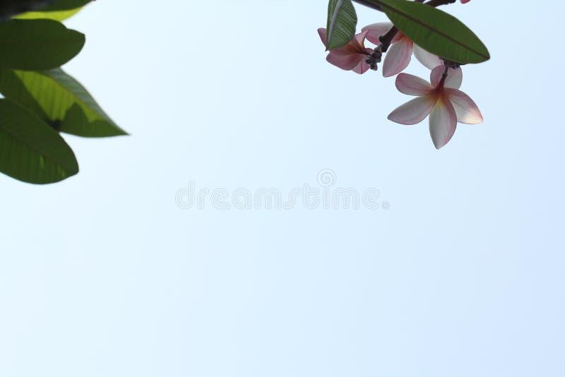 Nahaufnahmeansicht der rosa Blume und der Blätter auf Hintergrund des blauen Himmels lizenzfreies stockfoto