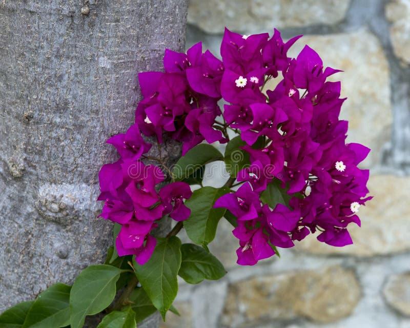 Nahaufnahmeansicht des purpurroten Königinbouganvillas lizenzfreies stockfoto