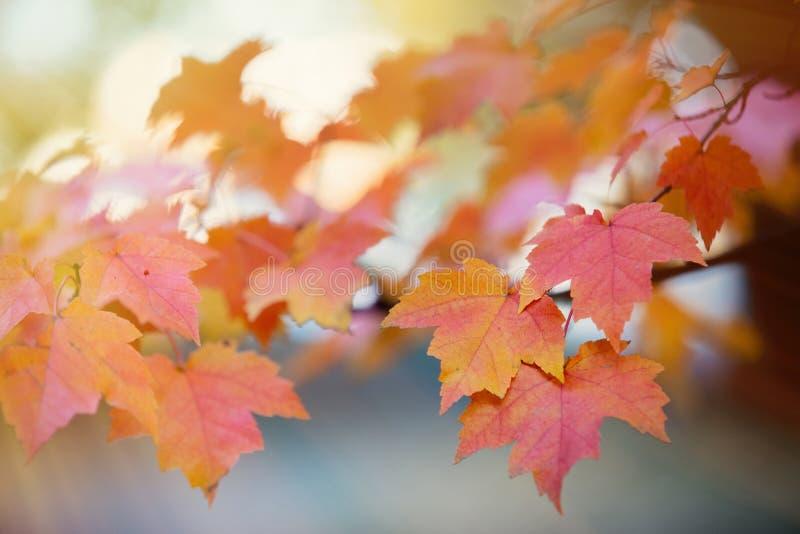 Nahaufnahmeansicht am Gelbem und wenigen Rotahornbaum verlässt lizenzfreie stockfotografie