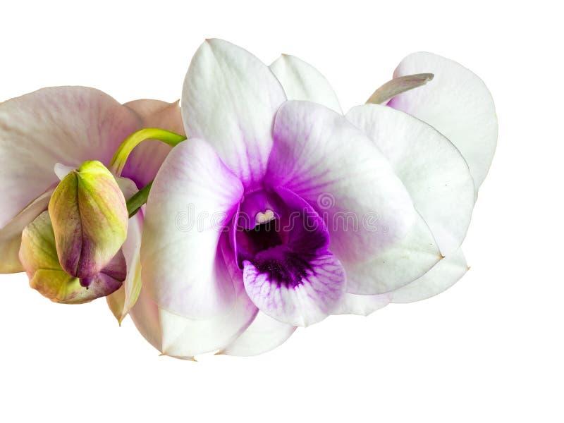 Nahaufnahmeansicht von weißen Orchideenblumen stockfotos