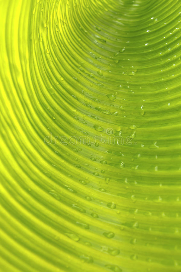Nahaufnahmebananen-Blatthintergrund, abstrakt lizenzfreies stockfoto