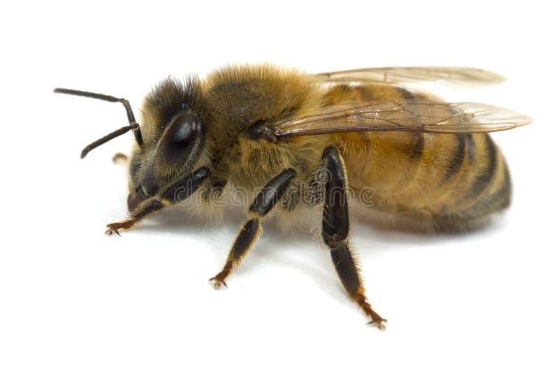 Nahaufnahmebiene auf Weiß stockbilder