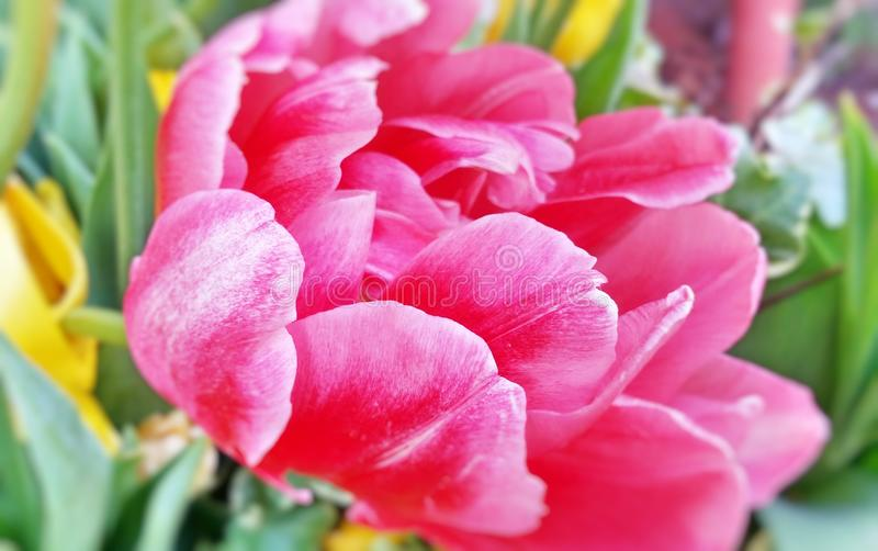 Nahaufnahmebild der hellen rosa Tulpenblume lizenzfreies stockbild