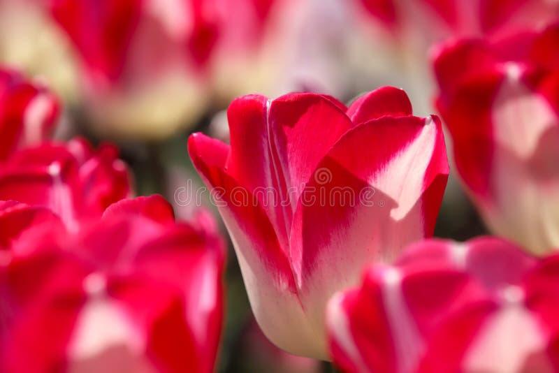 Nahaufnahmebild der Tulpe stockfoto