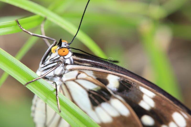 Nahaufnahmebild des Schmetterlinges auf dem Blatt stockfotos