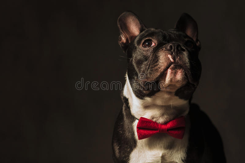 Nahaufnahmebild einer französischen Bulldogge, die weg schaut lizenzfreie stockfotografie