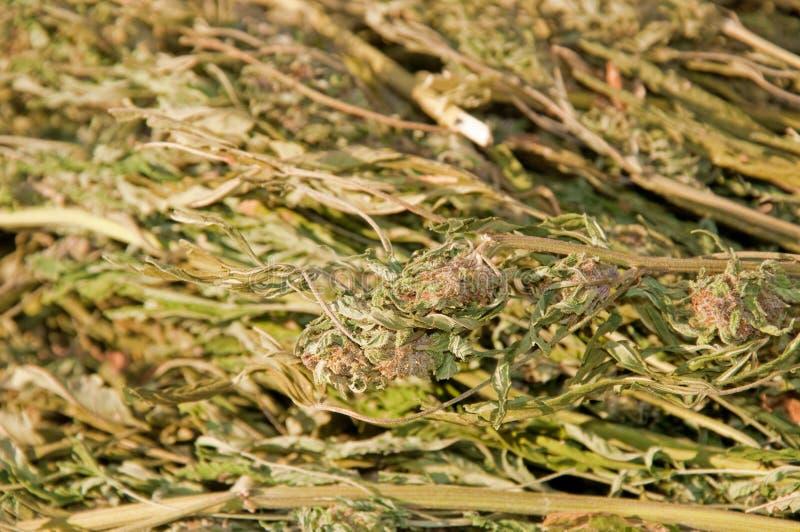 Nahaufnahmebild eines großen Bündels Marihuanas lizenzfreies stockbild