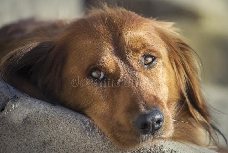 Nahaufnahmebild eines netten Dachshundhundes lizenzfreie stockfotos