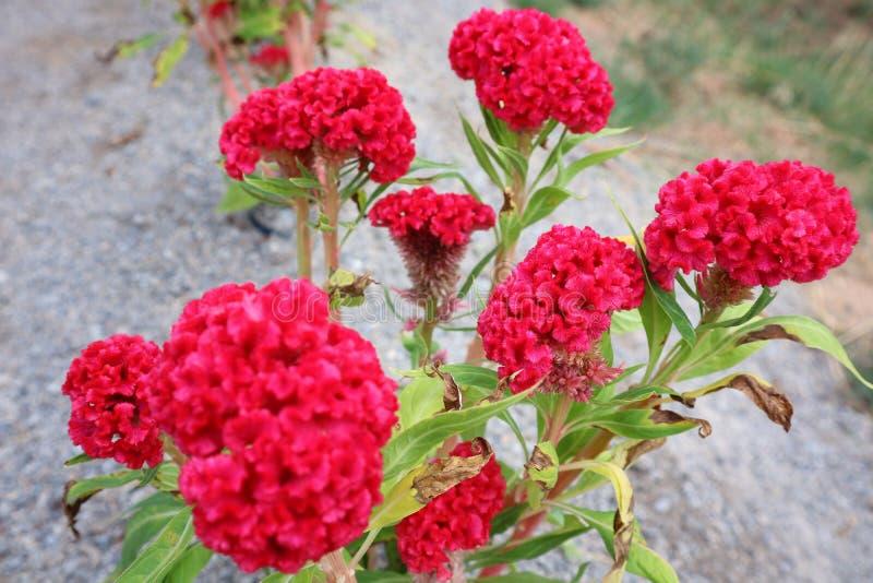 Nahaufnahmebilder von schönen roten Blumen, Hahnenkammblumen in der Natur lizenzfreies stockfoto