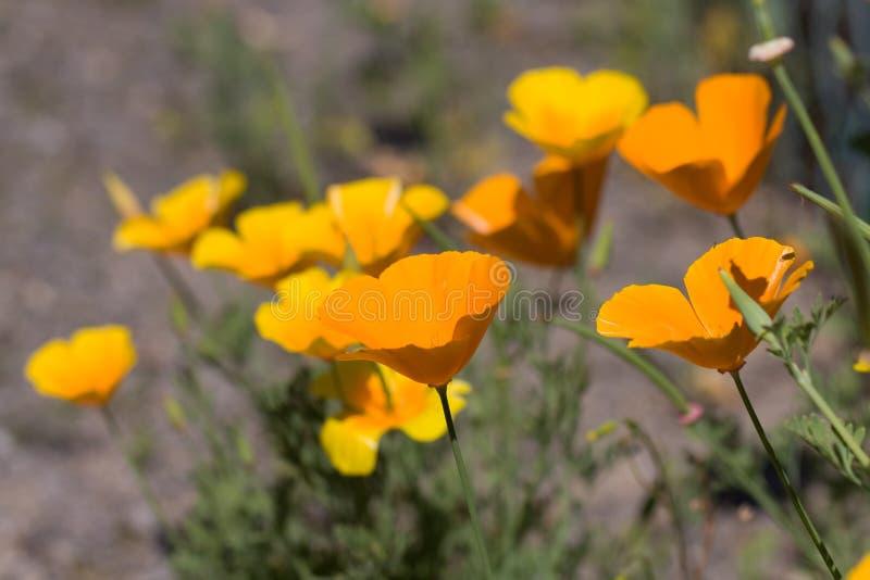 Nahaufnahmefoto der gelben Gänseblümchenfeld Blumen stockfoto