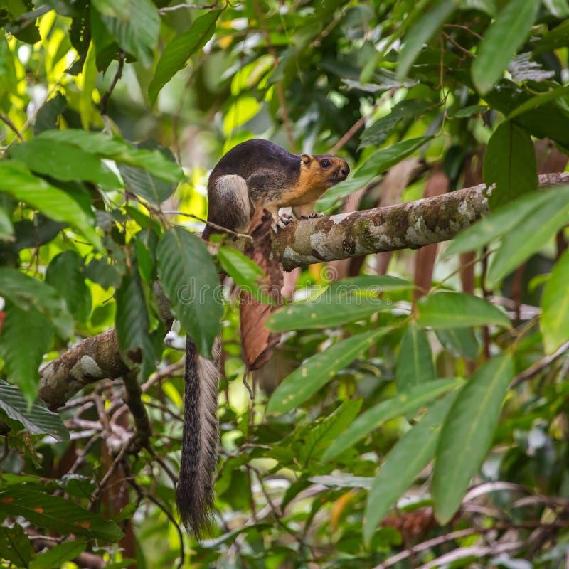 Nahaufnahmefoto des cremefarbenen riesigen Eichhörnchens lizenzfreies stockfoto
