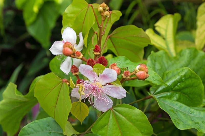 Nahaufnahmefoto des Lippenstiftbaums, der rosa Blumen und des Samens PO Achiote lizenzfreie stockfotografie