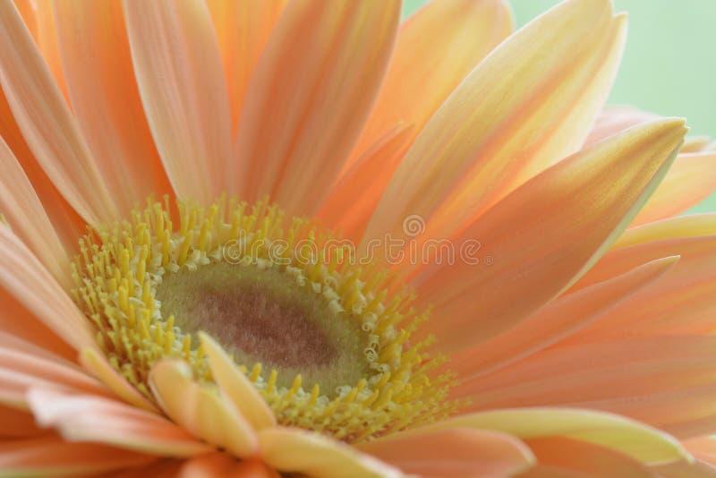 Nahaufnahmefoto eines schönen PfirsichFARBEgerberagänseblümchens; weiches Licht und Farben; scharfe Details der Mitte der Blume lizenzfreies stockbild