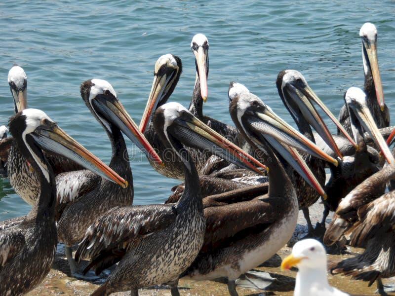 Nahaufnahmefoto von mehrfachen Pelikanen am Markt lizenzfreie stockbilder