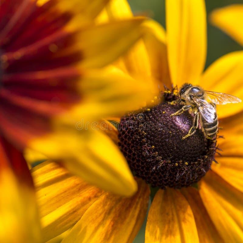 Nahaufnahmefoto von West-Honey Bee, der Nektar erfasst und Blütenstaub auf jungen Autumn Sun Coneflower (Rudbeckia, verbreitet ni lizenzfreies stockfoto