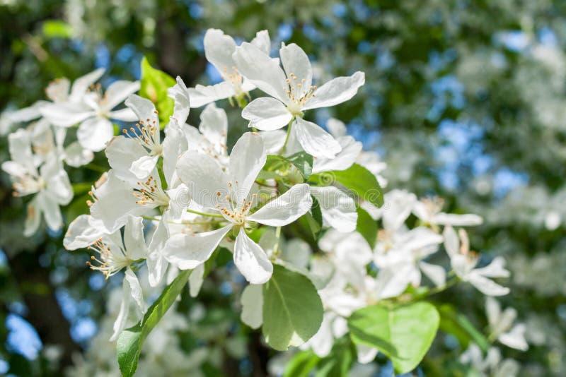 Nahaufnahmefrühlingsniederlassung eines blühenden Apfelbaums mit weißen Blumen auf schönem unscharfem Hintergrund stockfotos