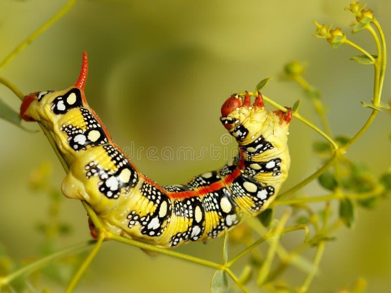 Nahaufnahmegleiskettenfahrzeug der Spurge-Falkemotte isst Blumen von Euphorbiengummi stepposa stockfotografie
