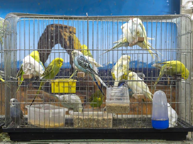 Nahaufnahmegrün, gelbe, blaue farbige Wellensittiche, die im Käfig am Geschäft für Haustiere stehen lizenzfreie stockfotos