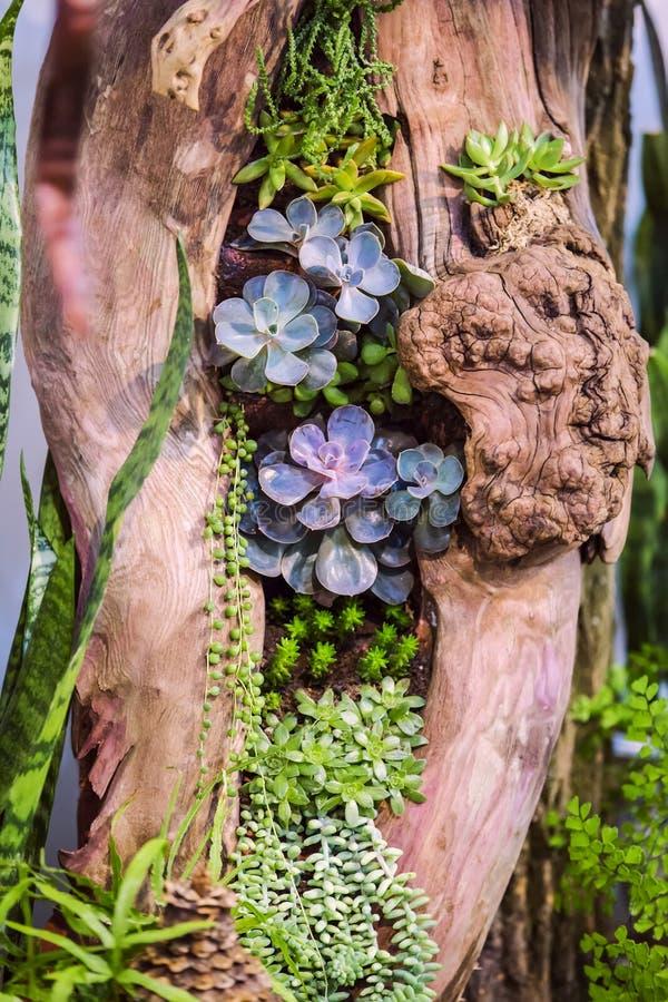 Nahaufnahmegruppe der Succulentsanordnung in der hölzernen Höhle Vielzahl von den Succulents gepflanzt in einem Holz stockbilder