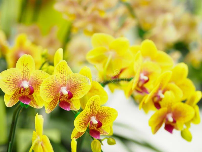 Nahaufnahmegruppe von gelben Orchideen mit unscharfem Hintergrund lizenzfreie stockfotos