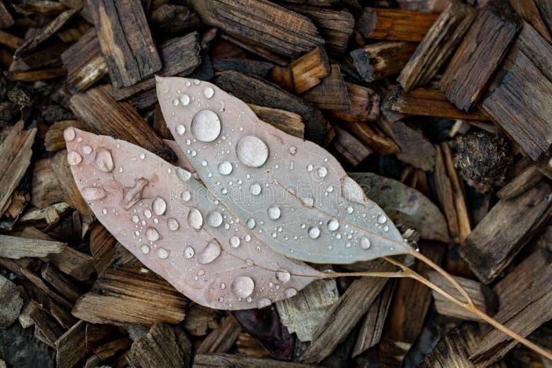 Nahaufnahmeherbst/-winter schossen von einem Paar Blättern, die auf Holzspänen liegen Schöne runde Wassertröpfchen auf den Blätte lizenzfreies stockbild