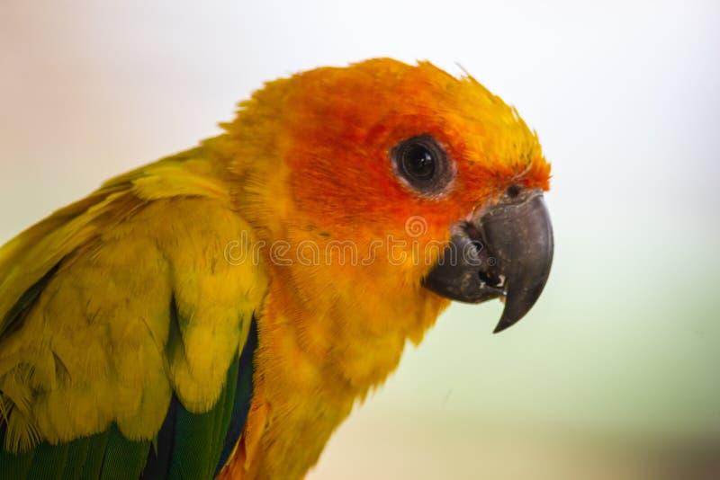 Nahaufnahmekopf von Sun Conure, der schöne gelbe und orange Parr stockbild