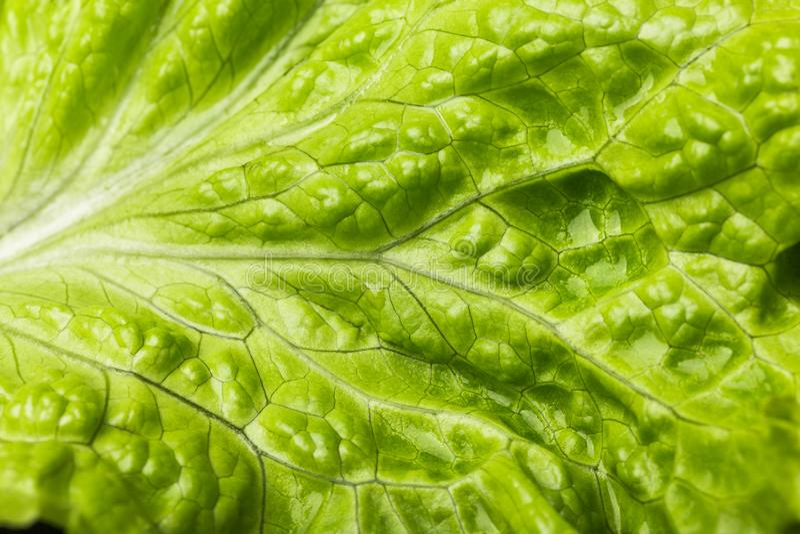 Nahaufnahmekopfsalatblatt, frischer Kopfsalat Grüner Hintergrund stockfotografie