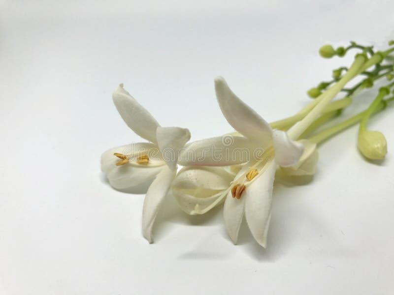 Nahaufnahmekorkenblumen im weißen Hintergrund stockbild