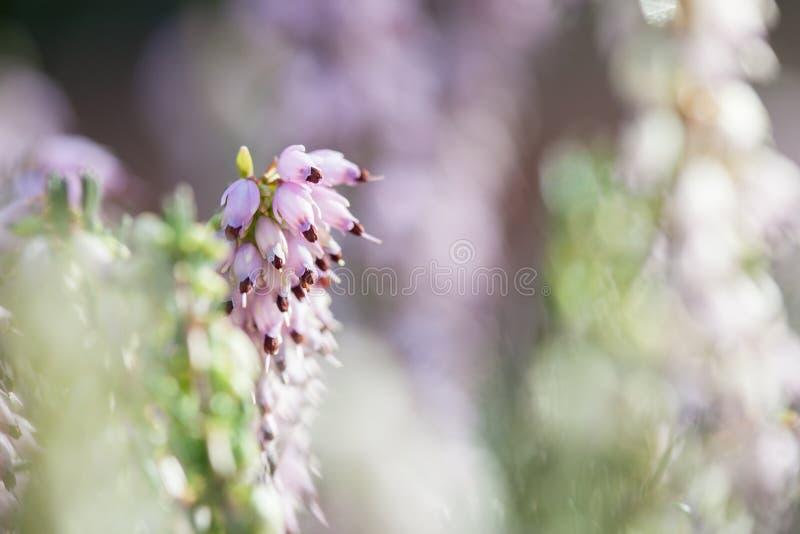 Nahaufnahmemakrofoto recht Rose-rosa Heidekraut-darleyensis Blumen Winters Heath im Vorfrühlingsgarten während des sonnigen Tages stockfoto