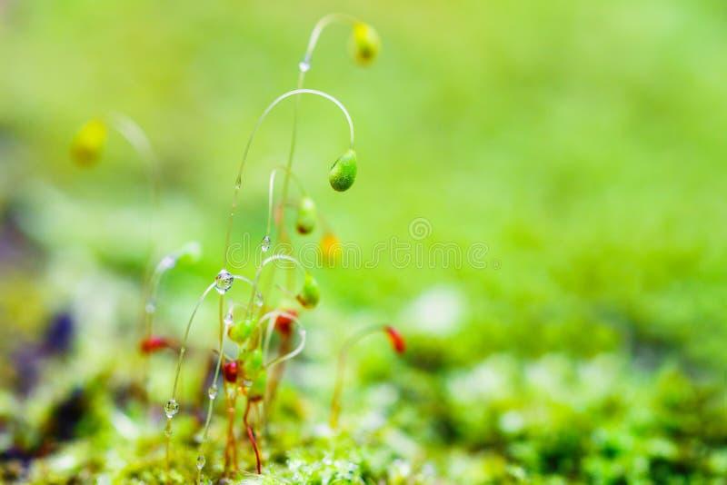 Nahaufnahmemoosblumen nach Regen stockfoto