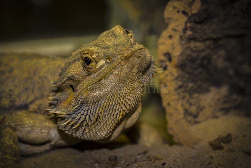 Nahaufnahmen eines männlichen grünen iguana stockfotos
