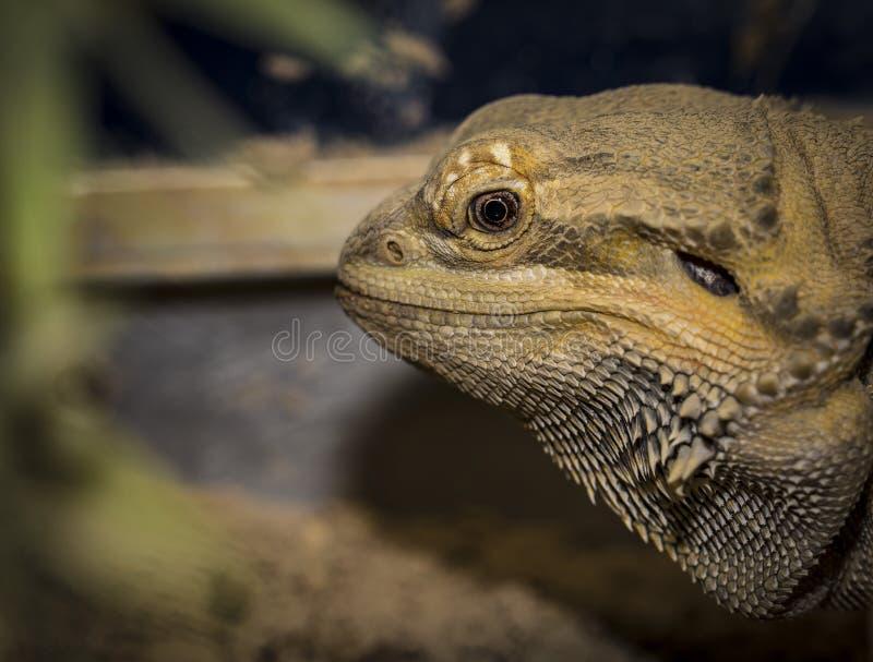 Nahaufnahmen eines männlichen grünen iguana lizenzfreie stockfotografie