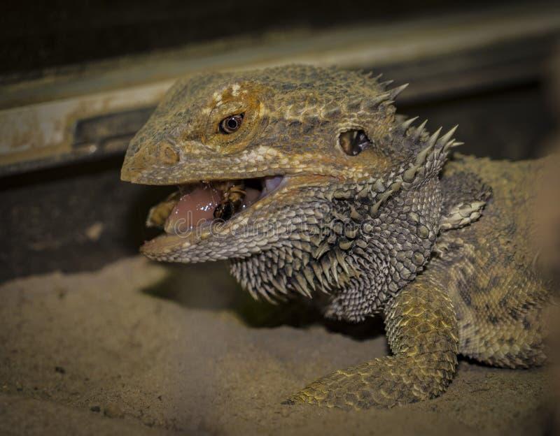Nahaufnahmen eines männlichen grünen iguana stockfoto
