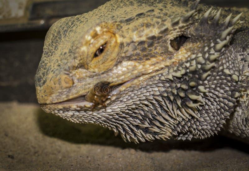 Nahaufnahmen eines männlichen grünen iguana lizenzfreie stockfotos