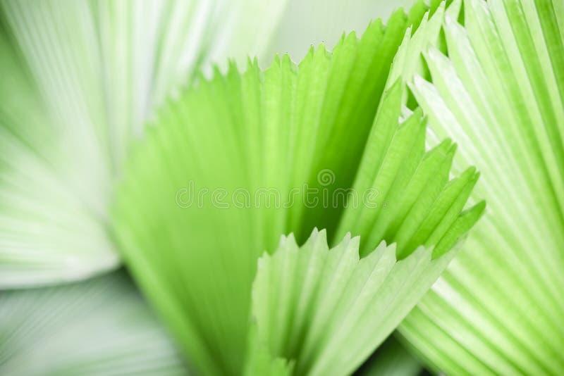 Nahaufnahmenatur-Ansichtmuster und Beschaffenheit des grünen Palmblattes und im Garten mit als natürliche Grünpflanzen des Hinter lizenzfreies stockbild