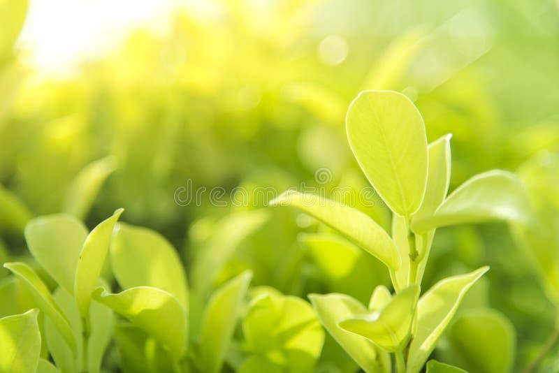Nahaufnahmenaturansicht des grünen Blattes im Garten am Sommer Schließen Sie oben vom grünen Blatt mit Regentropfen Naturhintergr lizenzfreies stockfoto