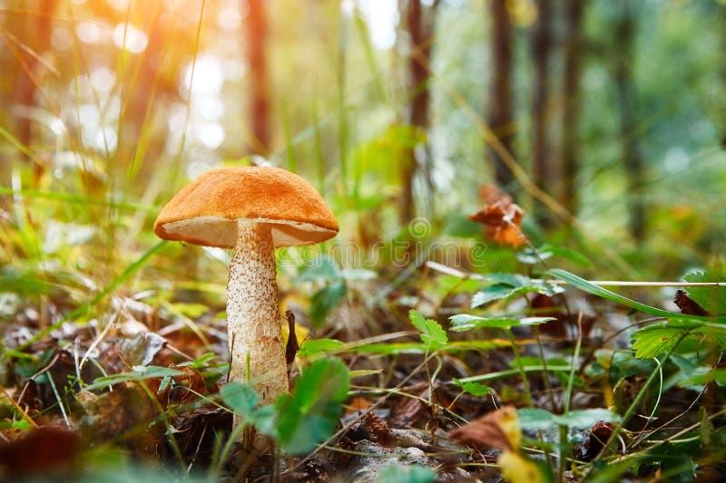 Nahaufnahmepilz Leccinum scabrum wächst in den Waldkleinen Pilzen, weiches bokeh, grünes Gras, Blätter Sonniger Sommertag nach r lizenzfreie stockfotos