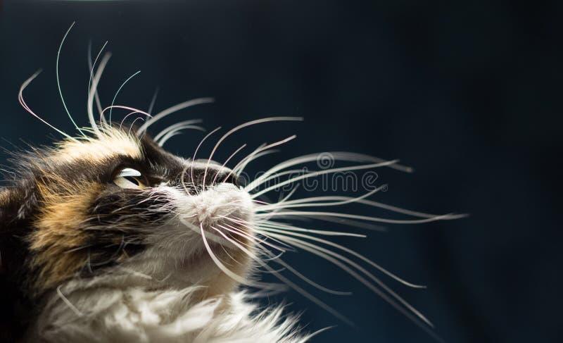Nahaufnahmeporträt der beschmutzten Katze stockbilder