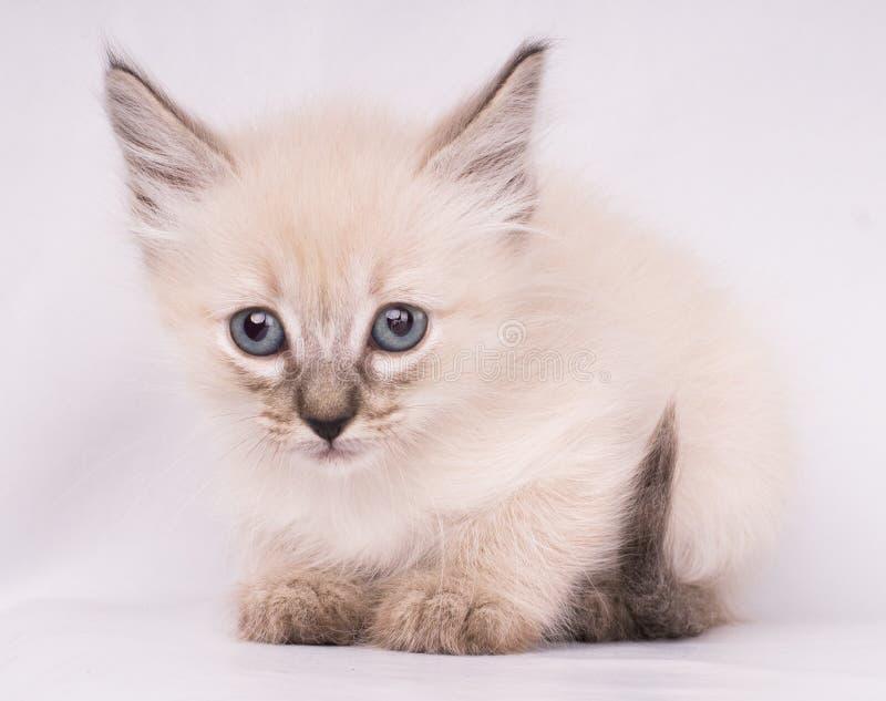 Nahaufnahmeporträt der grauen siamesischen verärgerten Katze mit den blauen Augen, welche die Kamera lokalisiert auf weißem Hinte stockbilder