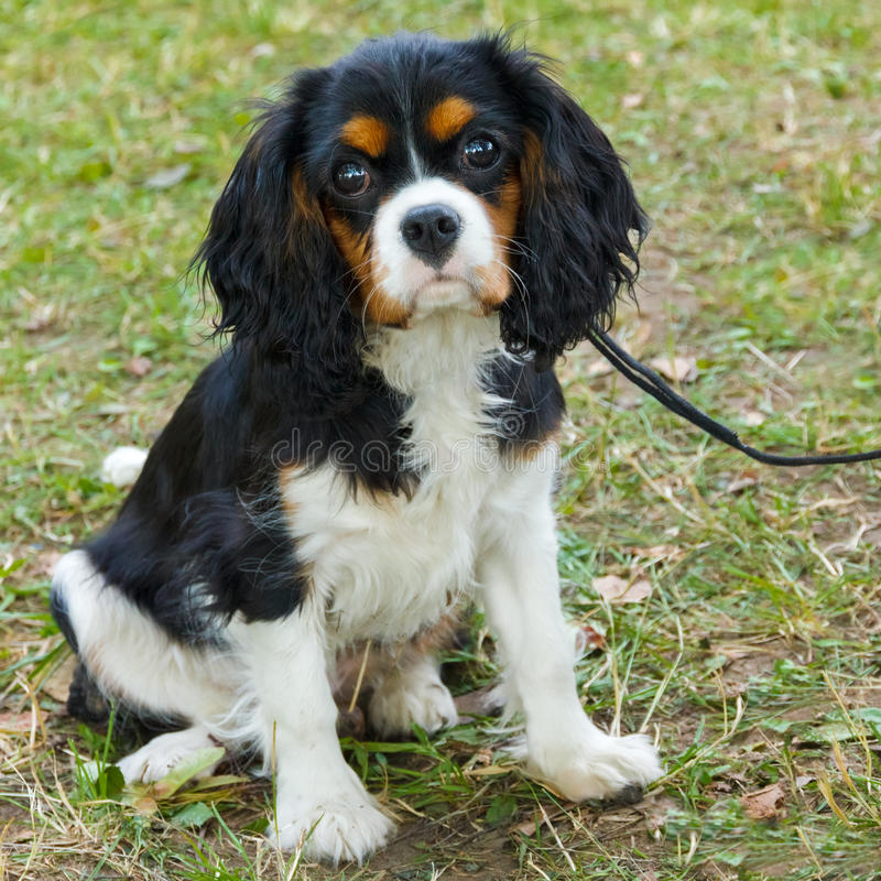 Nahaufnahmeporträt der Zucht Hundunbekümmerten Königs Charles Spaniel lizenzfreies stockbild