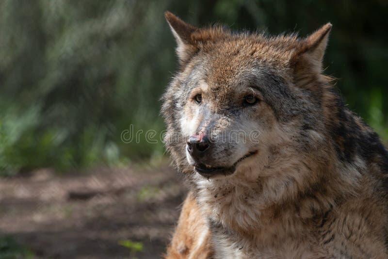 Nahaufnahmeporträt des älteren grauen Wolfs mit unscharfem Hintergrund lizenzfreie stockfotos
