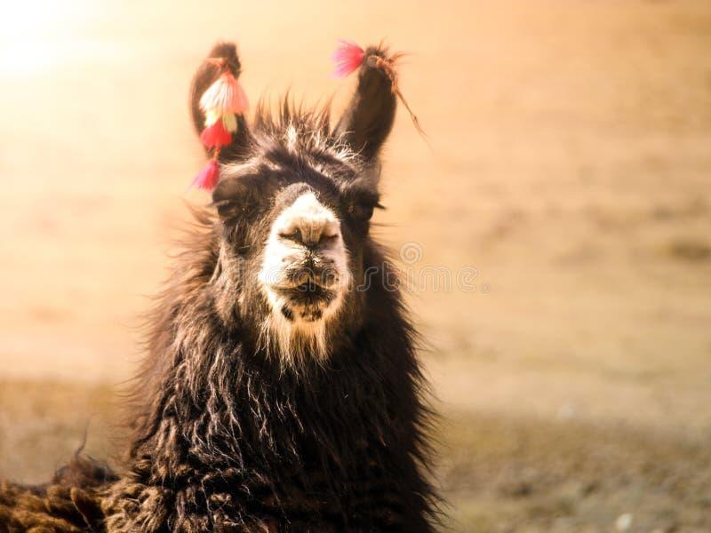 Nahaufnahmeporträt des braunen Lamas, Anden, Südamerika stockfoto